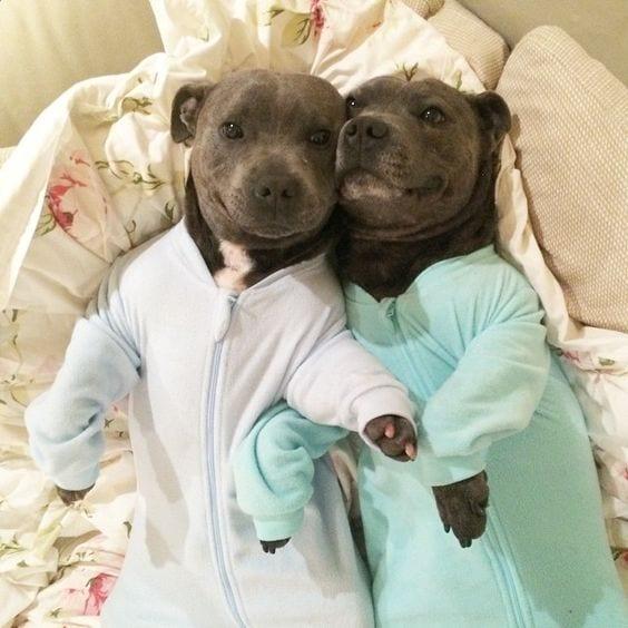 PitBulls in Pajamas