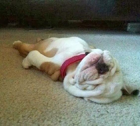 Sleeping Bulldog