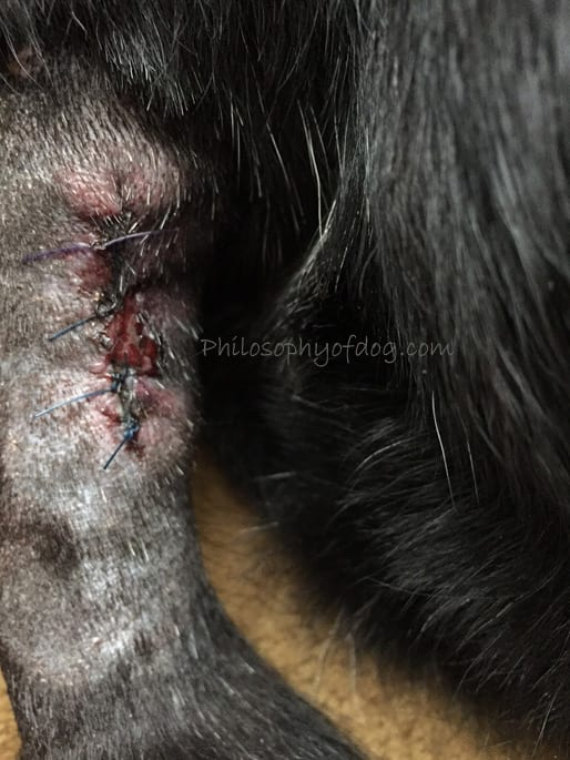 Hemangiosarcoma in Dogs