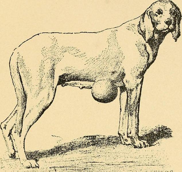 Canine Lipoma
