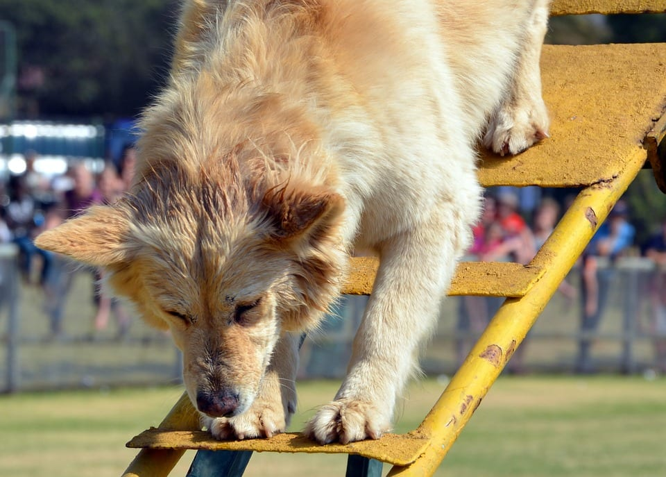 Dogs with Failing Sight May be Reluctant to Descend Stairs