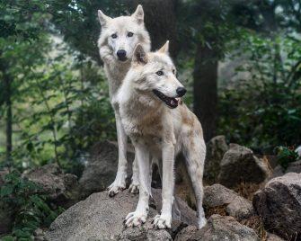 Dog Ancestry