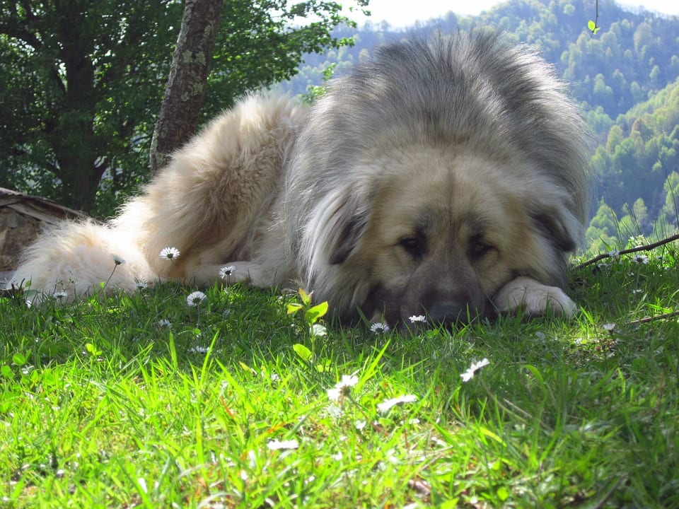 Grieving in Dogs