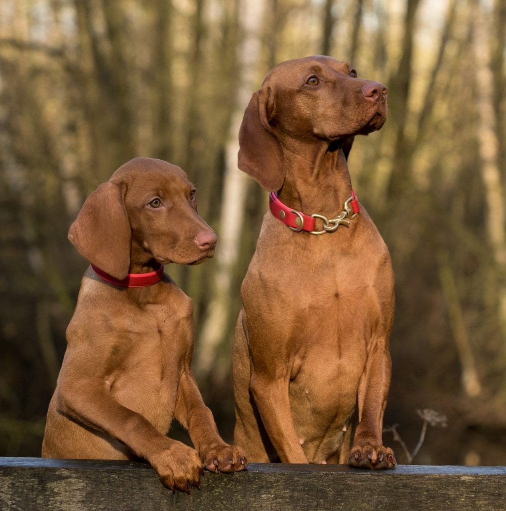 V-shaped eared Vizsla