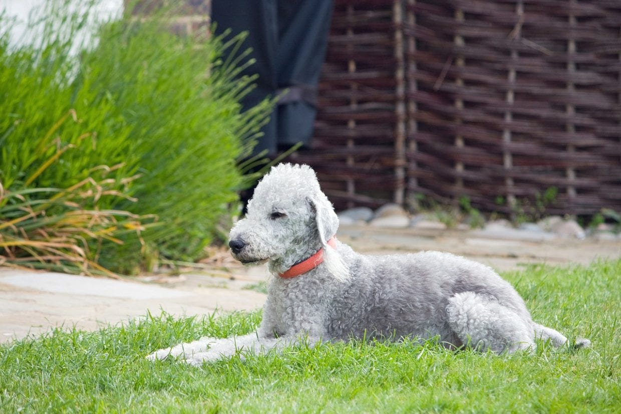 filbert eared Bedlington Terrier