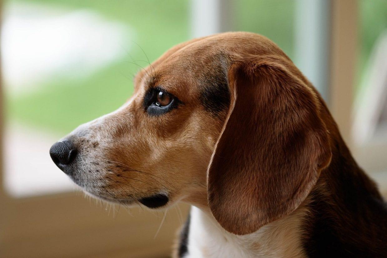 lop eared Beagle