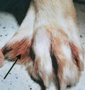 Dog Paws Yeast Infection