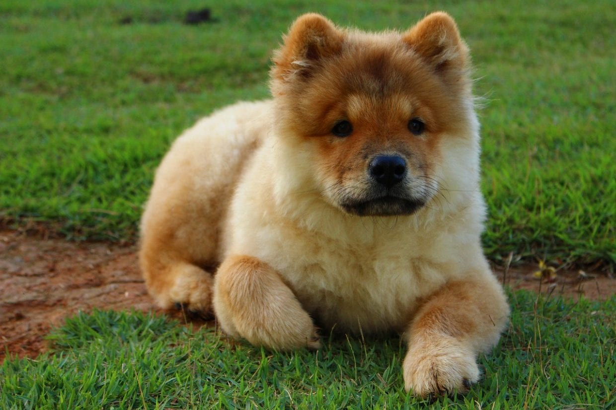 Blunt eared Chow Chow