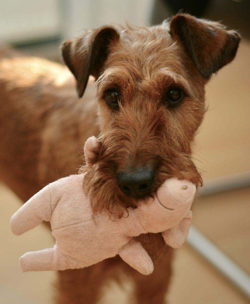button eared terrier