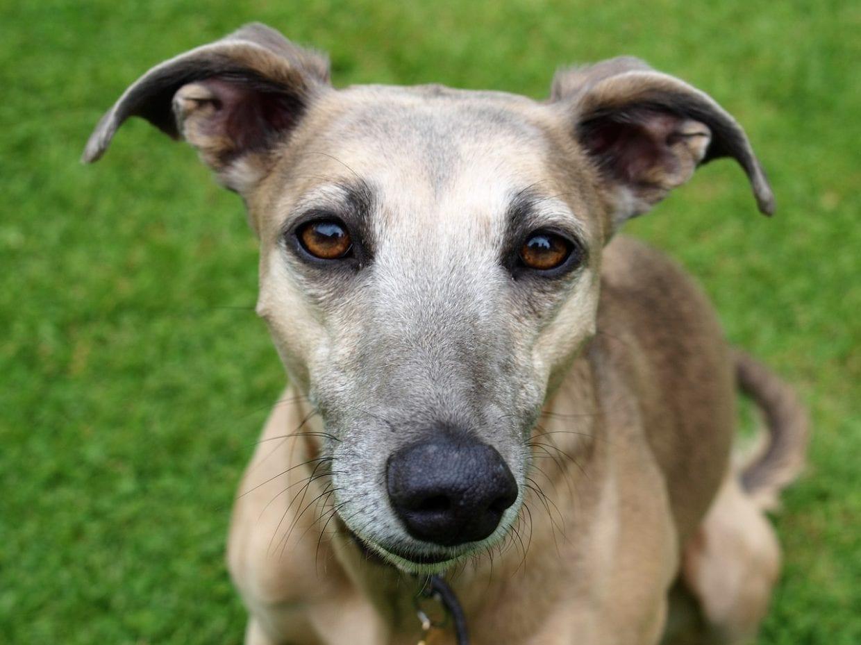 rose eared Greyhound